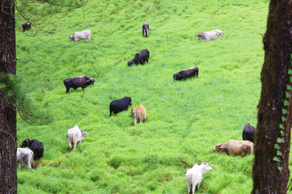 You will see a lot of cows grazing on the farm leading towards the hiking trail